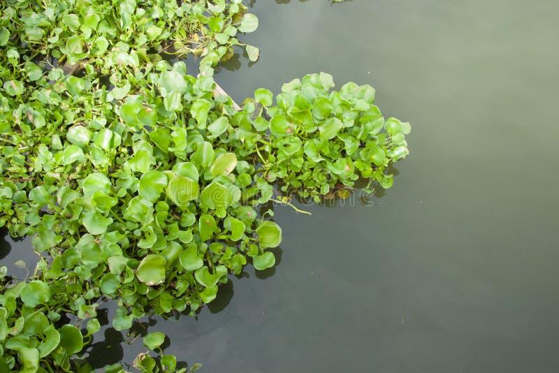 Velen geven hyacintvlotter in kanaal water royalty-vrije stock afbeeldingen