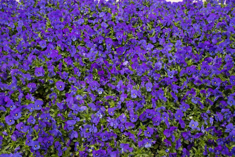 Velen springen viooltjes op royalty-vrije stock foto's