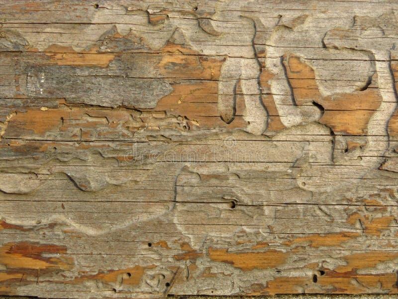 Velho crecked a placa de madeira comida por sem-fins e por besouros imagem de stock