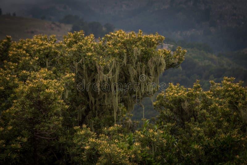 Velho equipa o musgo de barba que pendura de um arbusto verde imagens de stock royalty free