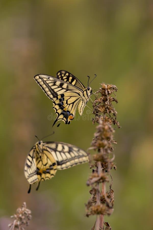 Velho Mundo Swallowtail fotografia de stock royalty free