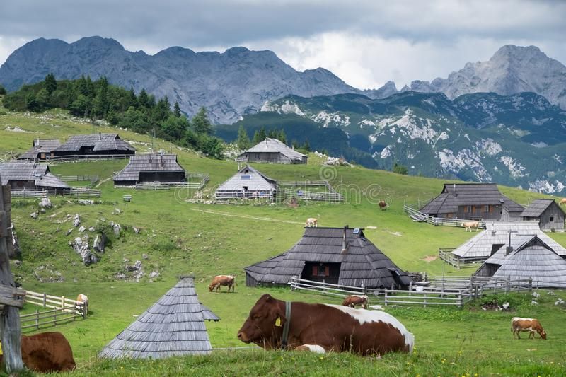 Velika planina 吃草在高山山背景的母牛  免版税库存照片