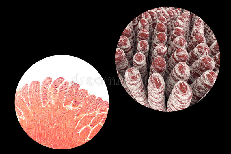 Vellosidades del intestino delgado ilustración del vector