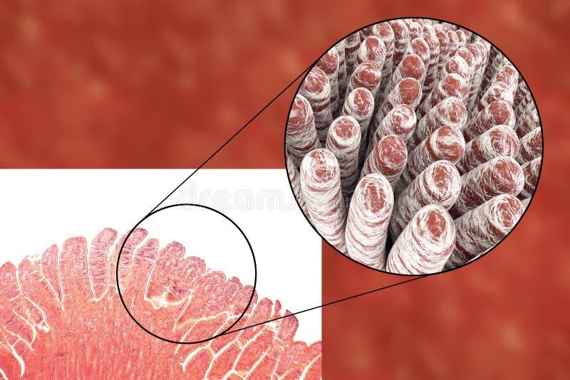 Vellosidades del intestino delgado stock de ilustración