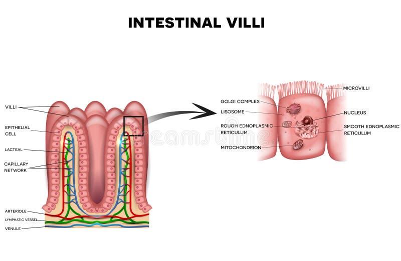 Vellosidades Y Microvellosidades Intestinales Ilustración del Vector ...