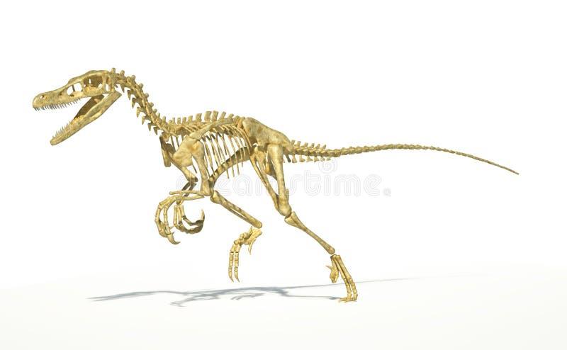 Velociraptordinosaurie, korrekt fullt skelett vetenskapligt. stock illustrationer