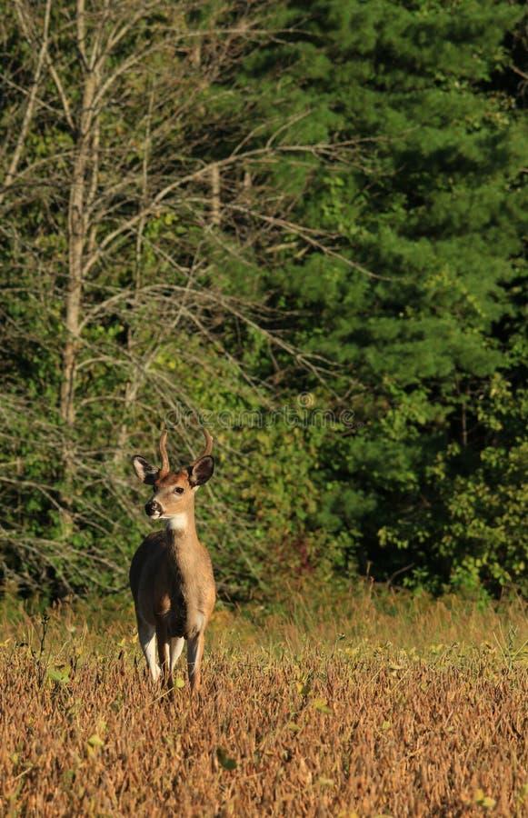 Velours Buck Stands de cerfs de Virginie dans Bean Field photos libres de droits