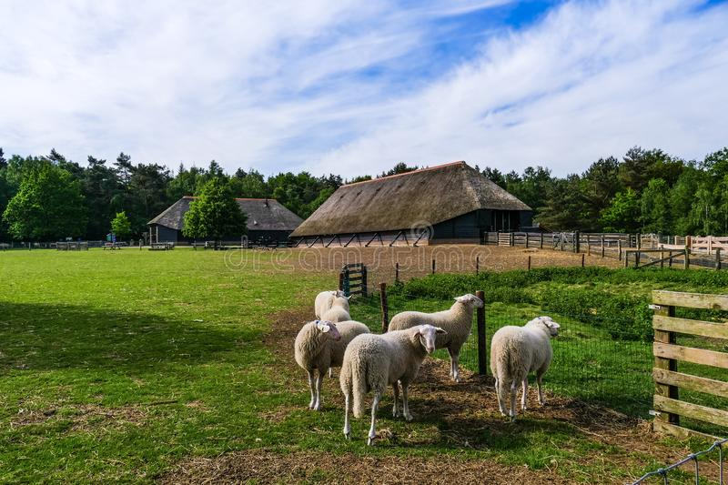 Veluwe sheep at sheep drift Ermelo, the Netherlands. Ermelo, the Netherlands - 2018-05-12: a group of Veluwe Sheep grazing in a meadow near the sheep drift on stock image