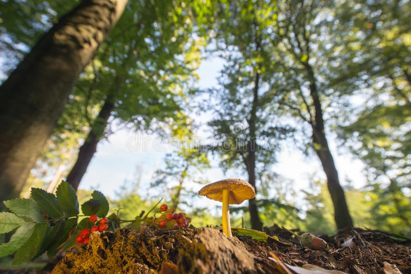 Velvet bolete in forest. With high trees stock image