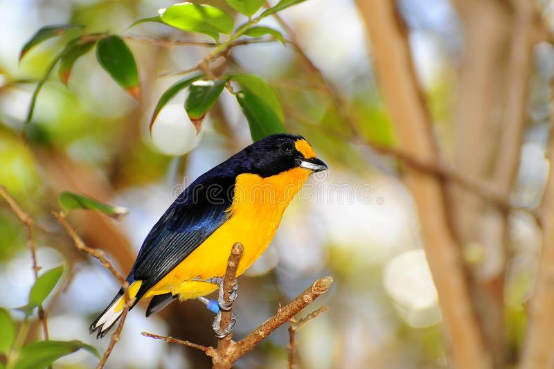 Velvet-fronted Euphonia Bird royalty free stock photography