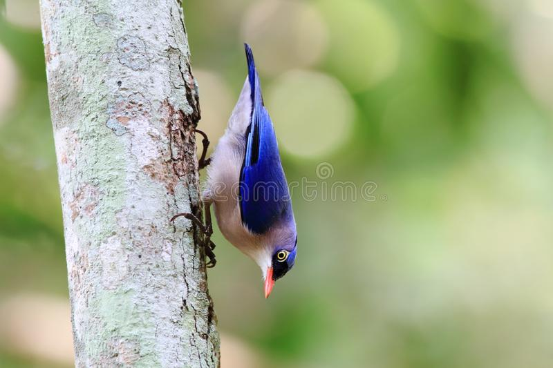 Velvet-fronted Nuthatch. Is looking for food by climbing the tree royalty free stock photos