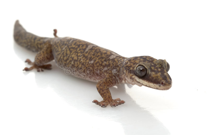 Velvet Gecko. (Oeodura monilis) isolated on white background royalty free stock photos
