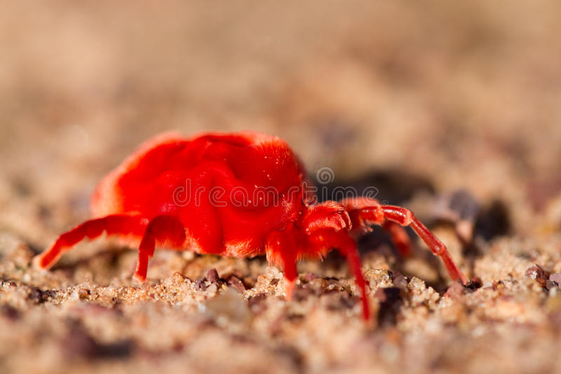 Velvet mite. A macro photograph of a bright red velvet mite royalty free stock photo