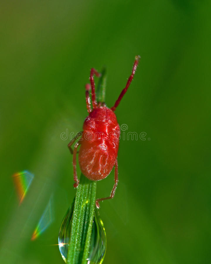 Velvet mite, Acari Trombidium holosericeum. Sitting on a blade of grass in closeup royalty free stock images
