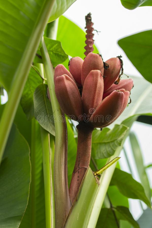 Velvet Pink Banana fruits of an exotic tropical banana on a branch among the leaves. stack of red pink purple bananas stock image