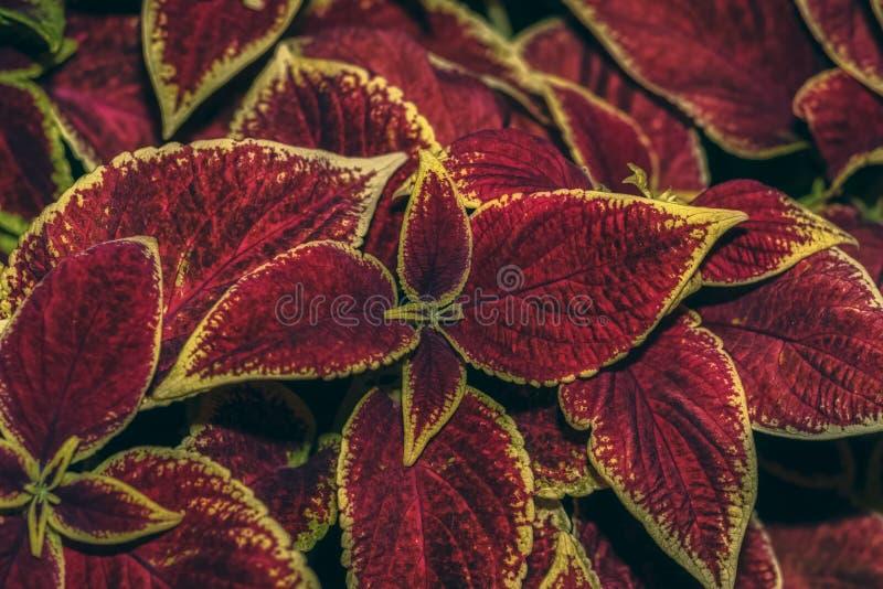 Velvet red Coleus. Coleus in the summer city Park. stock photography