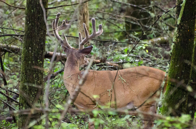 Velvet Whitetail Deer Buck in Cades Cove GSMNP royalty free stock photos