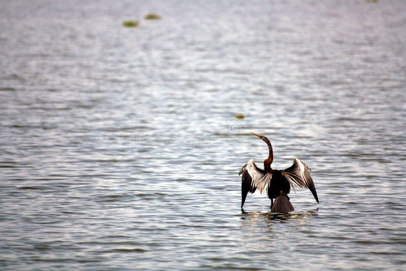 vembanad seabird святилища озера cormorant птицы стоковые изображения rf