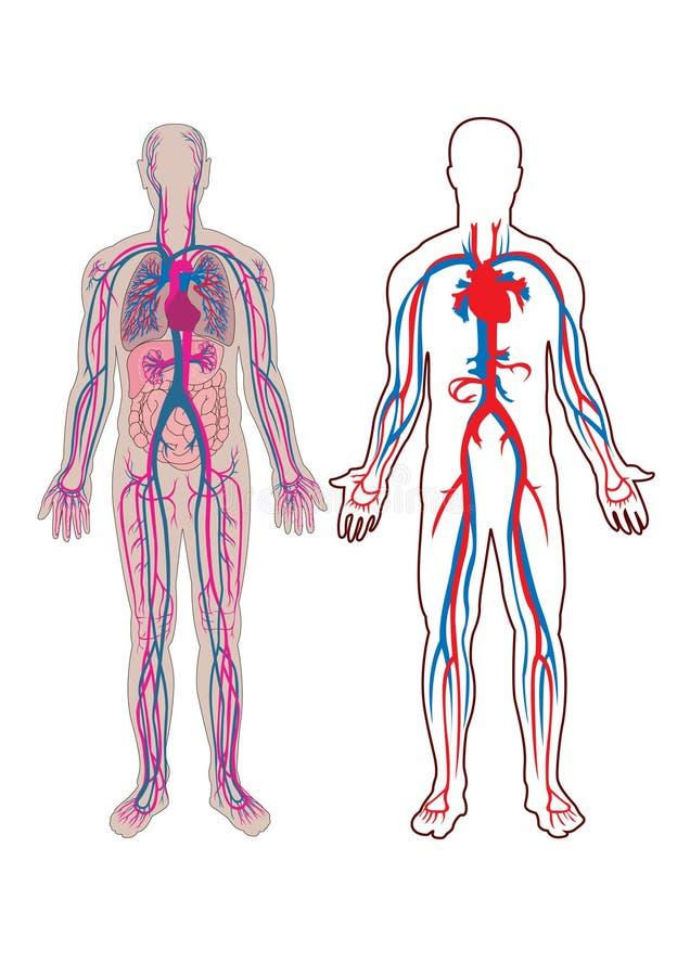 Vena humana adentro   ilustración del vector