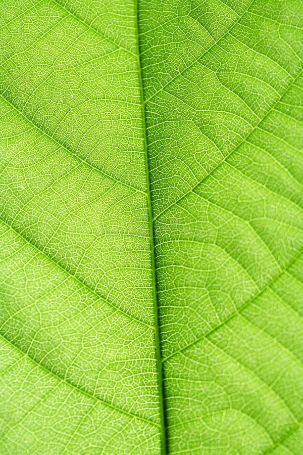 Vena verde del foglio fotografie stock