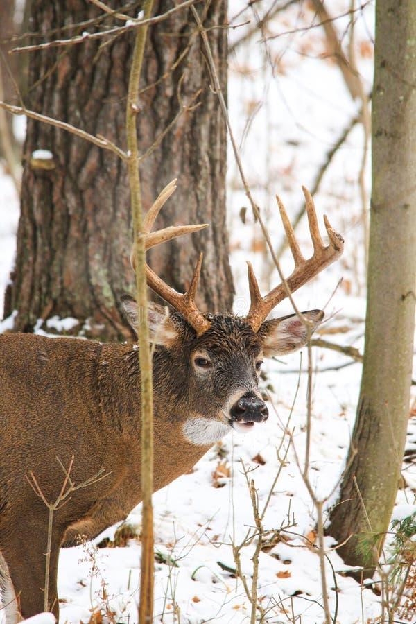Venados de cola blanca Buck Poses en el bosque nevado fotos de archivo
