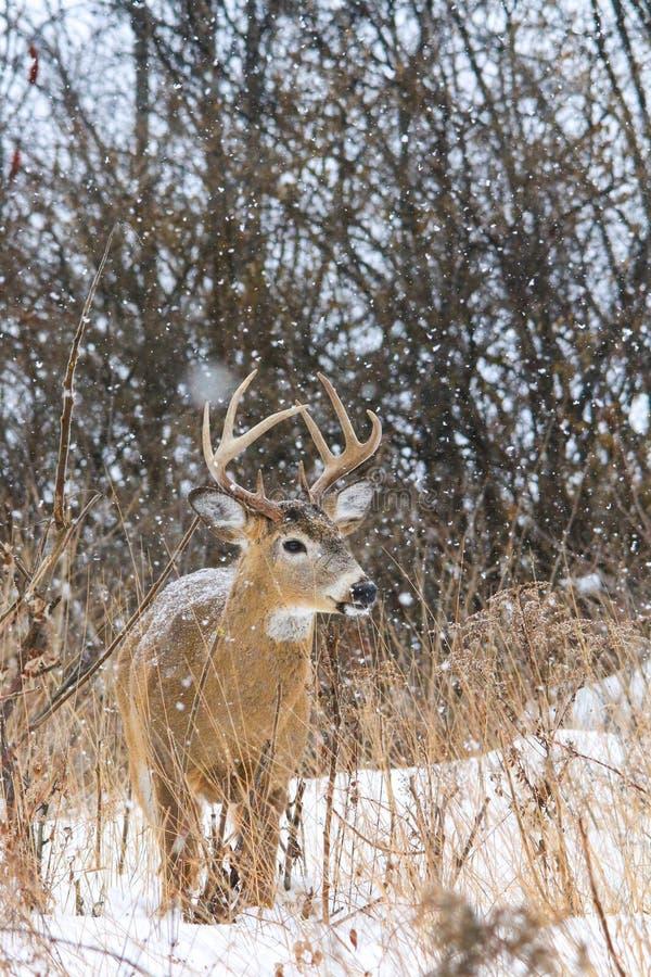 Venados de cola blanca Buck Poses During nevadas al invierno fotografía de archivo