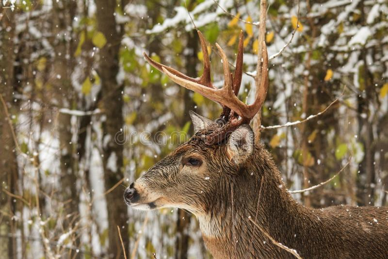 Venados de cola blanca Buck Side Profile en bosque con nieve que cae imagen de archivo