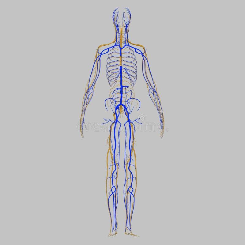 Venas con los nervios stock de ilustración