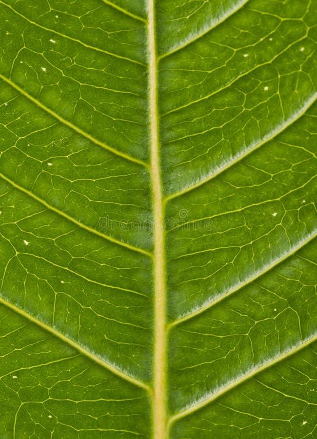 Venas de una hoja verde que muestra ángulos fotos de archivo libres de regalías