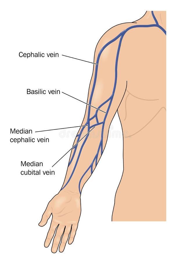 Venas del brazo ilustración del vector. Ilustración de adobe - 52825587
