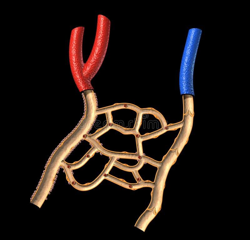 Venas humanas y diagrama cortado de las arterias. stock de ilustración