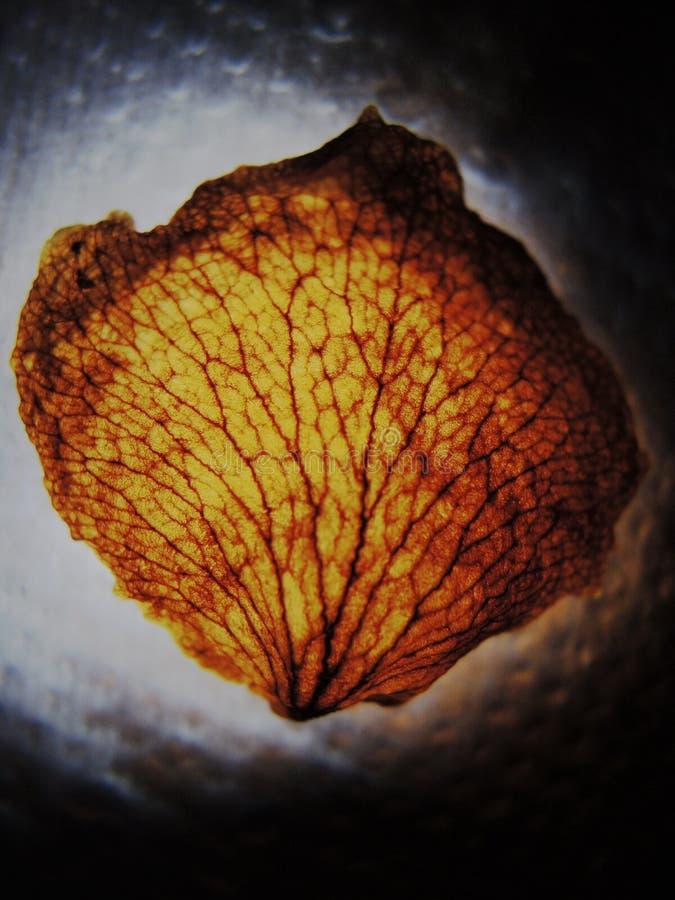 Venas/nervios de un pétalo color de rosa rojo retroiluminado seco imagenes de archivo