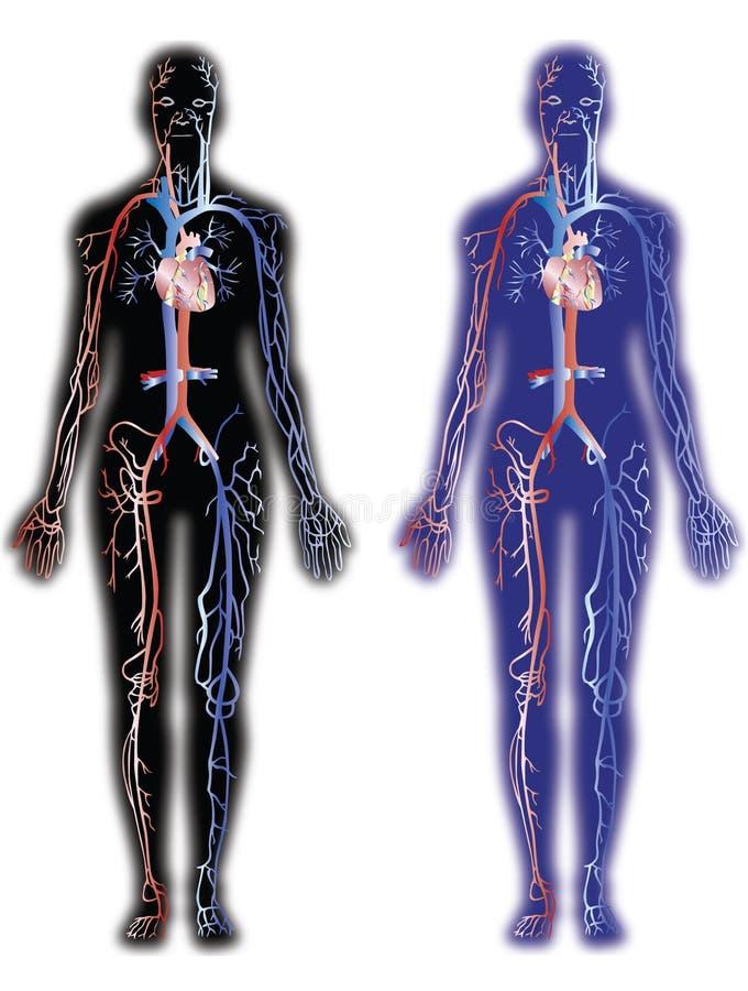 Venas y arterias stock de ilustración