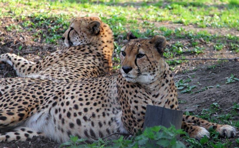 Venaticus asiatico di jubatus di acinonyx di due ghepardi che riposa sul fotografia stock libera da diritti