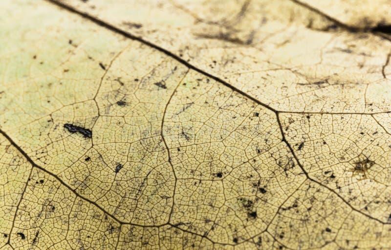 venation του κίτρινου μακρο στενού επάνω, αφηρημένου δημιουργικού υποβάθρου φύλλων στοκ εικόνα