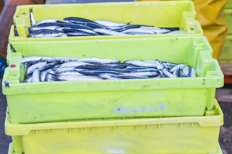 Venda do scombrus do Scomber, verdel, cavalla, sarda, anchova fotografia de stock
