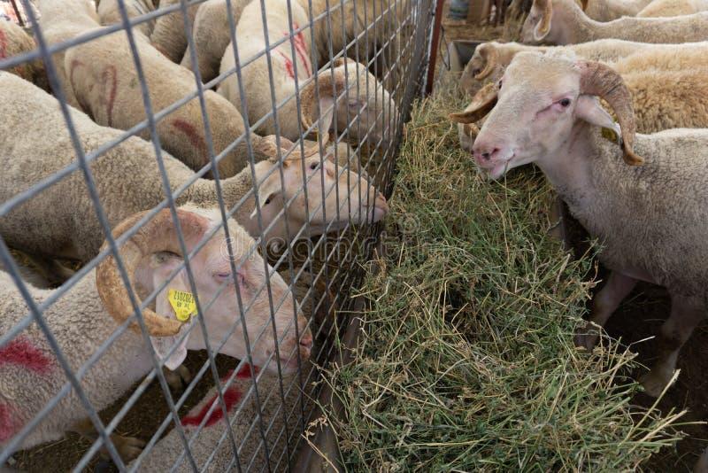 Venda dos carneiros e das cabras para Eid al-Adha, festival do sacrifício, imagens de stock