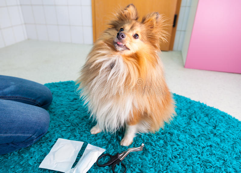 vendaje humano un perro pastor de Shetland fotos de archivo libres de regalías