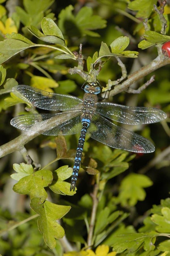 Vendedor ambulante emigrante Dragonfly imagens de stock royalty free
