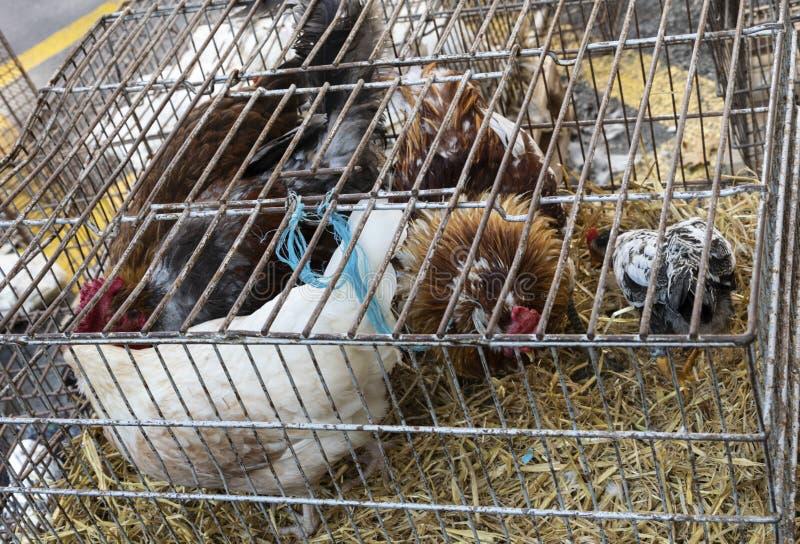 Gli animali vivi liberano le galline del bantam del pollo for Vendita carassi vivi