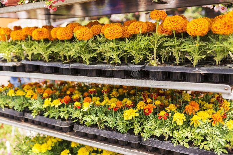 Vendita dei fiori del giardino nel deposito Scaffali con i vasi fotografie stock libere da diritti