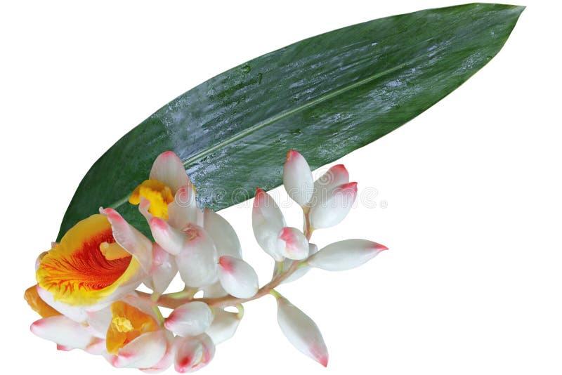 Vendita Ginger Flower e foglia immagini stock