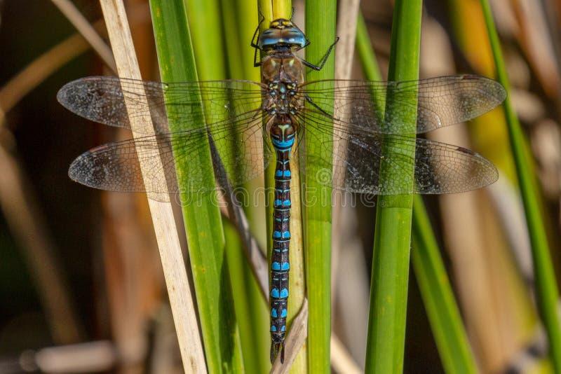 Venditore ambulante del sud Dragonfly che riposa su una foglia in Norfolk immagine stock