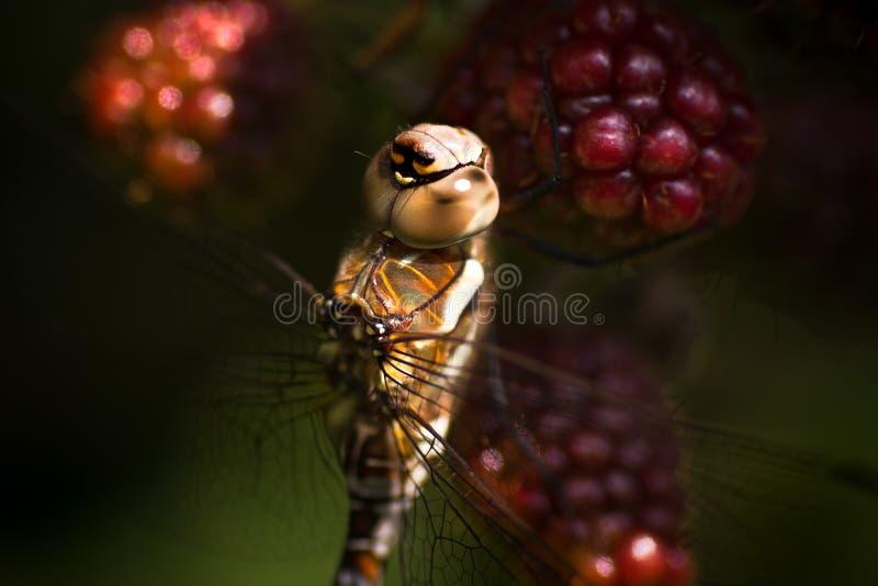 Venditore ambulante migratore della libellula sulle more di rovo immagini stock