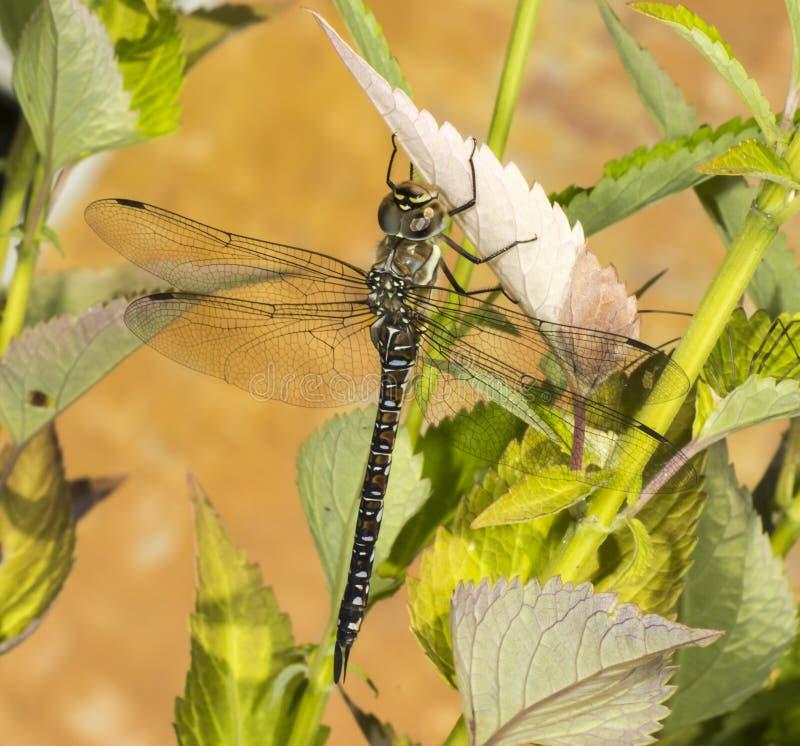 Venditore ambulante migratore Dragonfly immagini stock