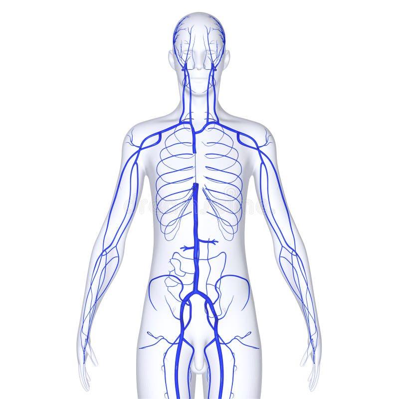 Vene del corpo illustrazione vettoriale