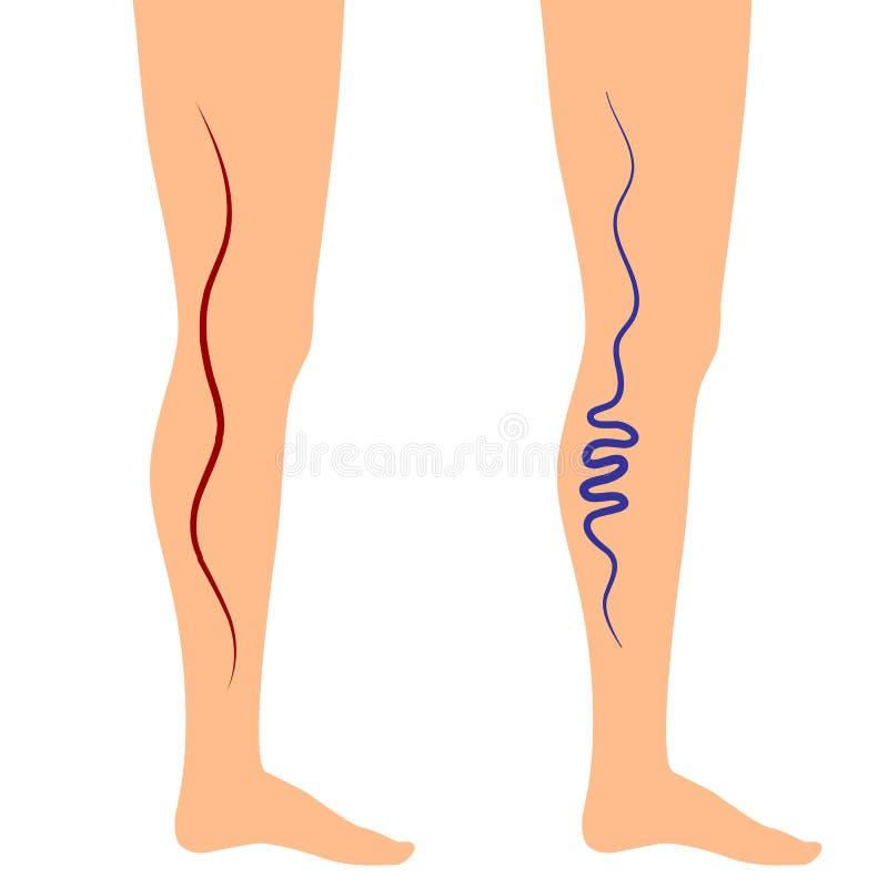 Vene della gamba dell'illustrazione di vettore illustrazione vettoriale