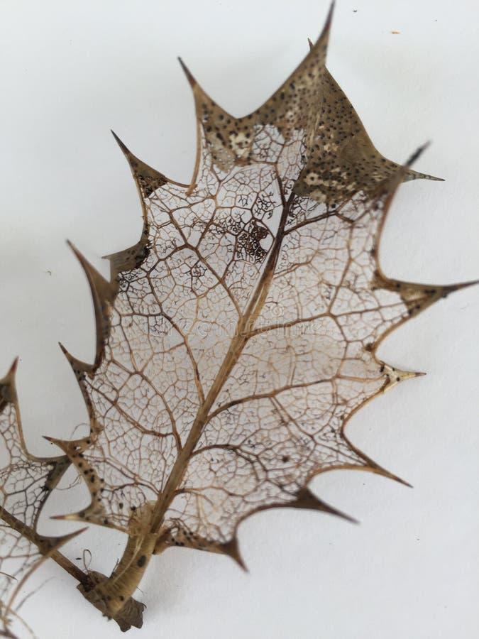 Vene a filigrana delicate delle foglie decomposte fotografia stock libera da diritti