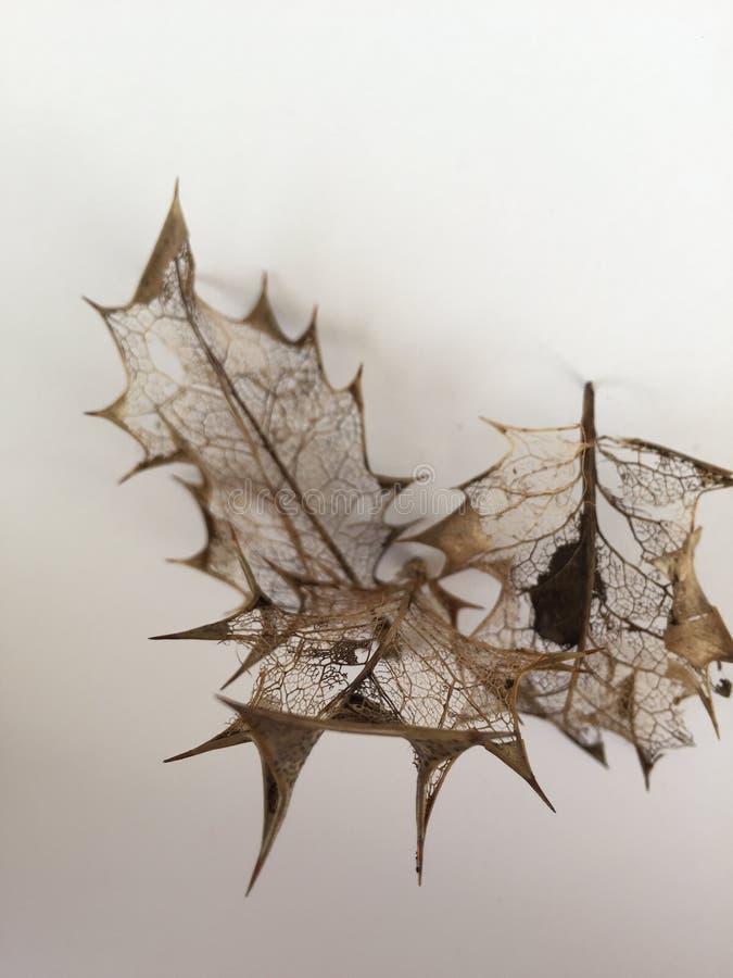 Vene a filigrana delicate delle foglie decomposte fotografie stock