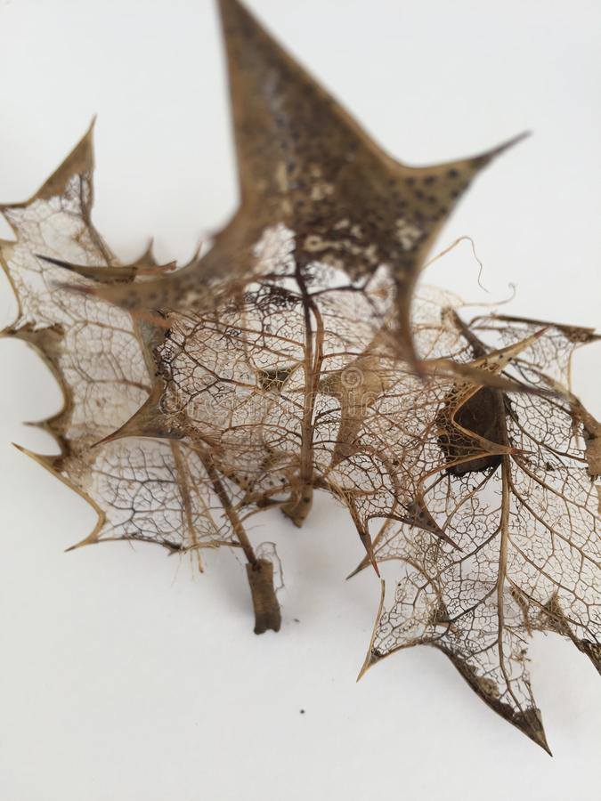 Vene a filigrana delicate delle foglie decomposte fotografia stock